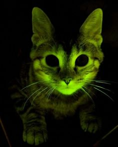 Genetically modified cat who glows green under blue light - will be used to study human and feline AIDS virus.