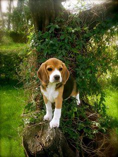 every garden needs a beagle