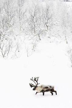 Reindeer (Rangifer tarandus), or caribou in North America