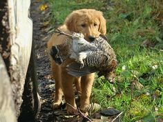 WDFW upland bird hunting page includes info on hunting grouse, pheasant, quail...