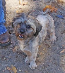 Teddy is an adoptable Shih Tzu Dog in North Augusta, SC. Teddy is about 2 years old. He has been microchipped, is current on all vaccinations, and is on Heartgard®. To adopt this pet please call All...