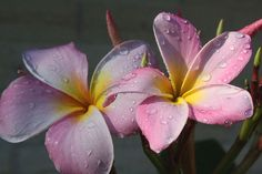 Plumeria  2009_05_21_IMG_005048b by sylharden, via Flickr