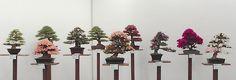 bonsai exhibit, azalea bonsai, satsuki azalea