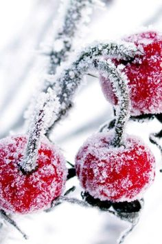 Frost-covered cherries