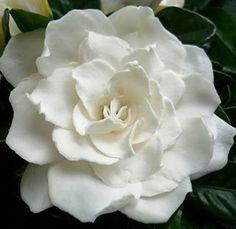 white fragrant gardenias