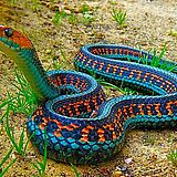 California Red Sided Garter Snake - gorgeous colors!