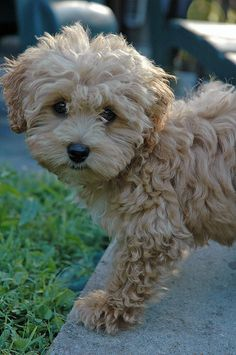 I cannot even take it! #maltipoo #dogs #cute.  @Matt Beumer