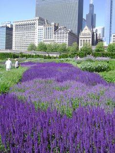 Salvia in Lurie Garden, Chicago