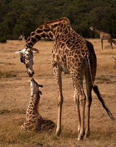 mother, giraffe