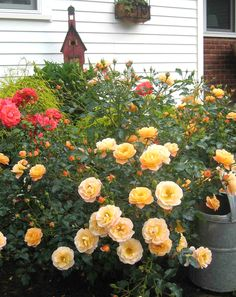 Flower Carpet 'Amber' rose with bright orange rose in background - a perfect plant combination