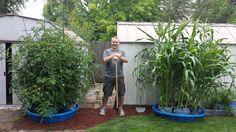 Merle Cain from Eugene, Oregon and his Explosive Kiddie Pool Grow System... kiddie pool, homestead fun, miniatur garden, garden crop, kiddi pool, grow system, garden fare