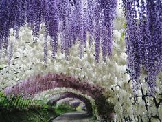Wisteria Tunnel @ Kawachi Fuji Gardens in Kitakyushu, Japan – Flower Tunnel of Japan!  Beautiful!  More pictures when you click the picture.