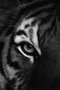 tiger, eye