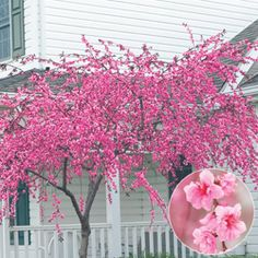 Pink Cascade Weeping Peach Tree. full sun - partial shade. zone 5-9. height 12-15 feet.