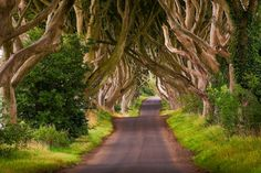 The image above is of a unique stretch of the Bregagh Road near Armoy, County Antrim that has been re-named locally as The Dark Hedges. As you can see, over the past 300 years or so the Beech trees guarding the lane have reached up and across to each other, becoming heavily intertwined to create a remarkable sight
