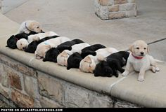 Adorable Sleeping Labradors