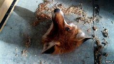 Fox stuck in floorboard. A Classic.