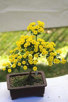 ✿ڿڰۣ(̆̃̃•Aussiegirl Chrysanthemum
