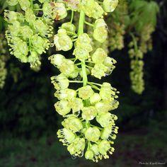 Big Leaf Maple Blooms