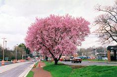 flower plum, plum tree, highdesert, favorit tree