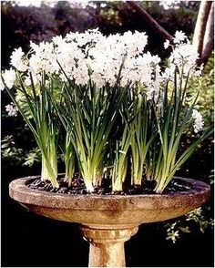 Bulbs planted in an old bird bath, how clever