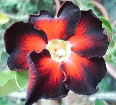 rare black succulent   DESERT ROSE ( ADENIUM OBESUM ) 5 seeds RARE BLACK FIRE   eBay