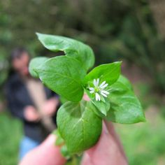 10 Edible Spring Weeds