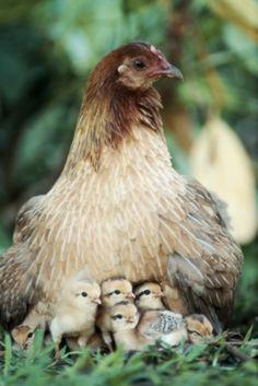 hen Breed