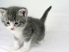 kitten, grey and white kitten