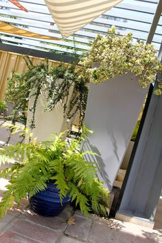 california native plants in containers