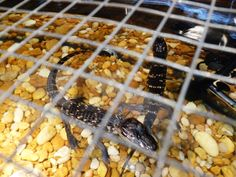 There are a few tiny alligators on display as a part of the temporary Water exhibit at the @Florida Museum!