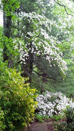 /\ /\ . Wild Dogwood over Azaleas