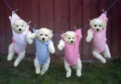 Puppies in baby clothes
