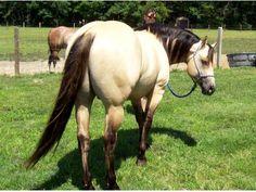 quarter hors, anim, big butt, buttermilk buckskin, equin