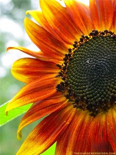 Shining Like the Sun, Autumn Beauty Sunflower