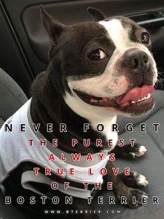Never Forget the Purest Always True Love of the Boston Terrier! → http://www.bterrier.com/never-forget-the-purest-always-true-love-of-the-boston-terrier/ - https://www.facebook.com/bterrierdogs