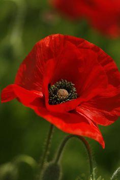 Red Oriental Poppy Wildflower.