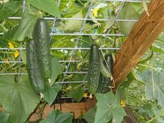 Love growing our cukes up a trellis or cage. It's a space saver & keeps the veggies off the ground. This would make a great Snap Pea fence too...Might have to make a fence like this for our Pea's!