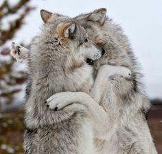 Wolves hug