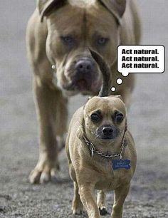 dog park, anim, funni, police cars, funny stuff, puppi, chihuahua, little dogs, big dogs