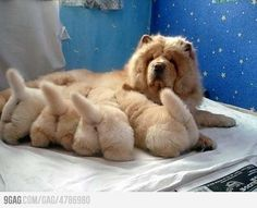 puppy chow, ball, animals, dogs, little puppies, chow chow, fur, chowchow, fluffy puppies