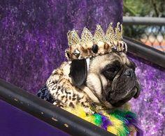 Pimped out Pug #puginvasion #pugs #purple #royal