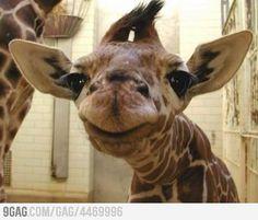 A smiling giraffe