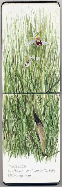 Ophrys apifera by Marco Preziosi