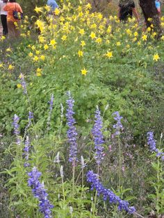 Columbine and Mealy Cup Sage-Harriet K. Maxwell Desert Wildflower Loop Trail-Desert Botanical Garden