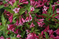Minuet Weigela (Weigela florida) I have 4 of these pretty flowering bushes!