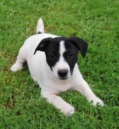 jack russell terrier black and white - photo #12