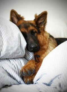 German shepherd cuddled in bed