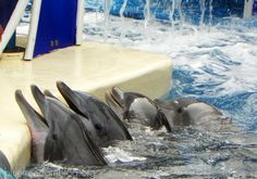 The faces of captivity. #SeaWorld #oceanicconservation #dolphins #whales #captive #voiceless