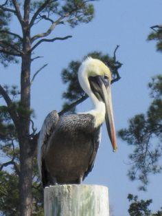 Photo that I took!! :D Pelican in Ocean Springs Harbor, Ocean Springs, MS
